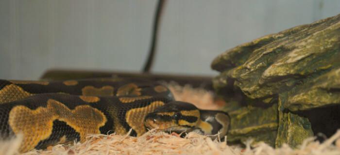 5 Reasons NEVER to Buy a Snake | PETA