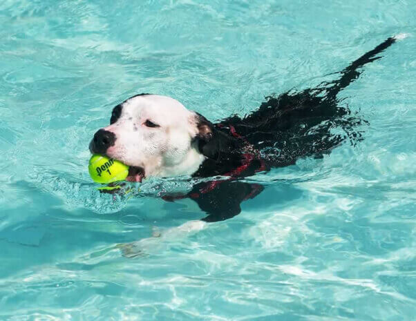 Dog swimming with tennis ball