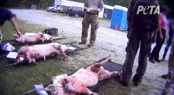 trauma-training-pigs-military