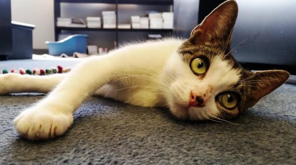Eve, a kitten available for adoption at PETA's Sam Simon Center