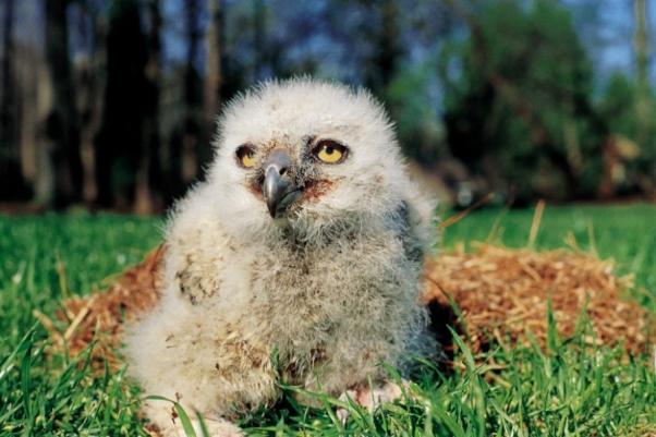 Arthur the owl