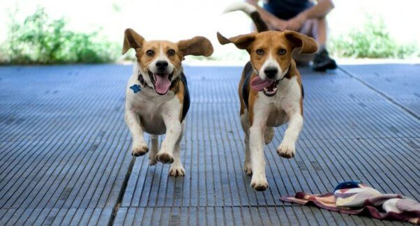 Two beagles running toward camera with ears flapping