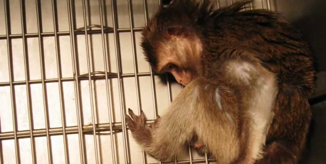 Could a Chaotic Seattle-Area Primate Lab Become a COVID-19 Hotspot?
