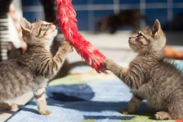 Kittens for adoption at PETA headquarters