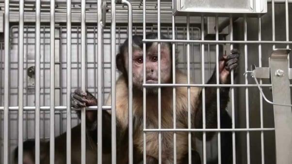 NIH Capuchin 1