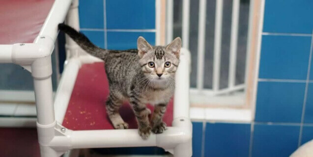 What Age Can Male Cats Impregnate Females