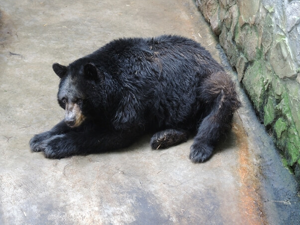 Pymatuning-Bear-2