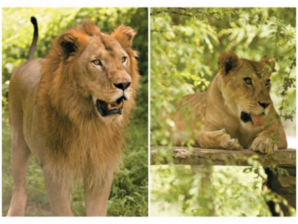 Rani and Shehenshah lions