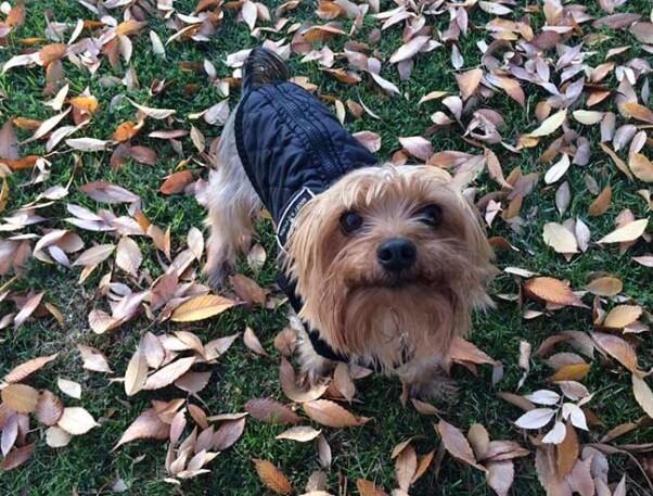 Yorkie in Leaves