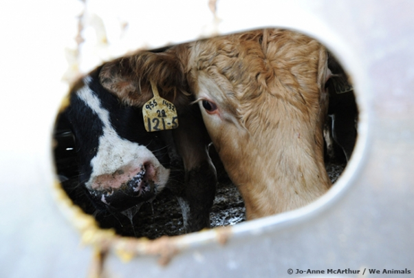 cows in transport truck