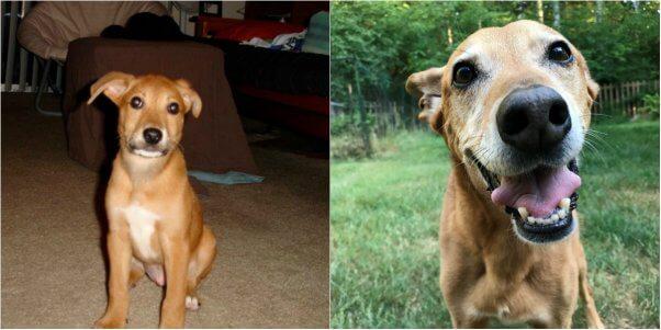 kashmir as a puppy and as a senior dog