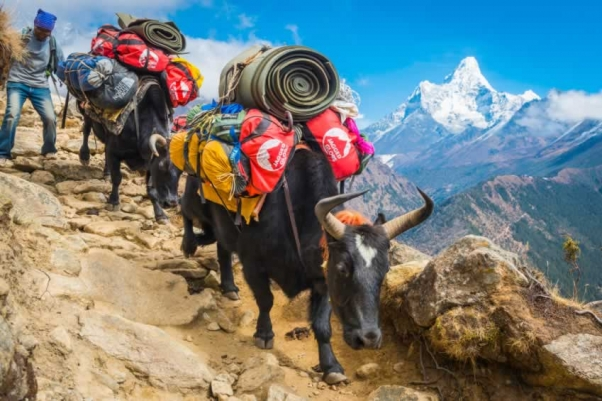 Sherpa and overloaded yaks