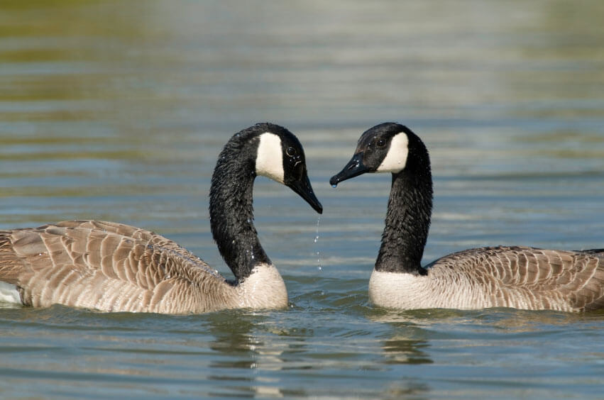 Canada Goose chateau parka online discounts - Urgent: USDA's Wildlife Services Leaves Birds to Drown! | Action ...