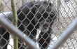 Joe the chimpanzee at Mobile Zoo