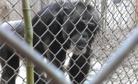 Mobile Zoo Slapped With Proposed $2k Penalty for Dangerous Direct Contact with Chimpanzee