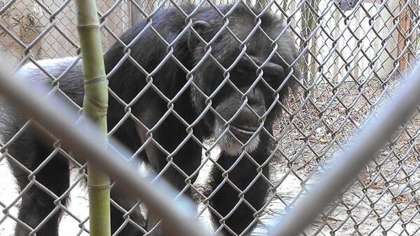 Joe the chimpanzee at Mobile Zoo