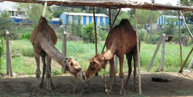 TeachKind Rescue Stories: Waheed and Tracy the Camels Fall in Love