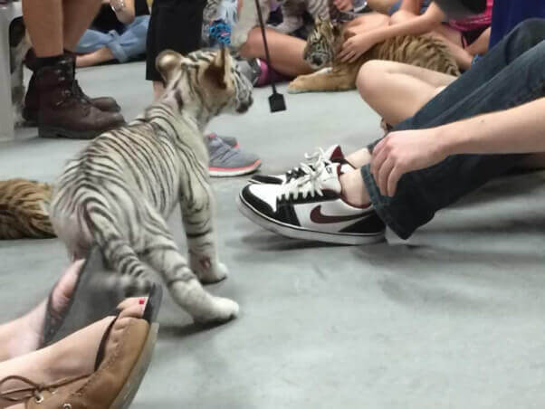 Baby tiger and riding crop