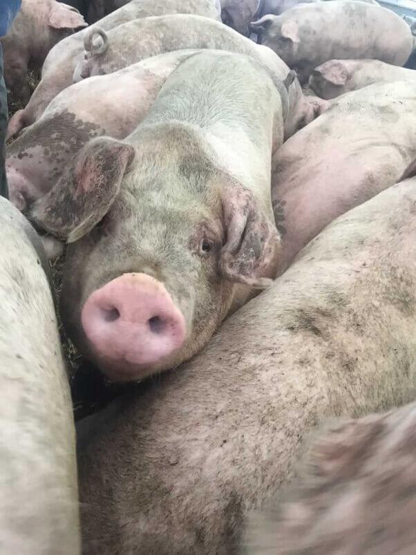 Pigs at Sweet Stem Farm