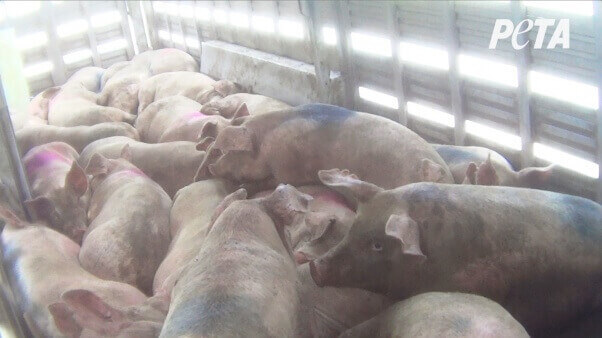 More than 20 pigs were tightly packed into a metal trailer on a hot day for more than 24 hours before they were hauled to slaughter
