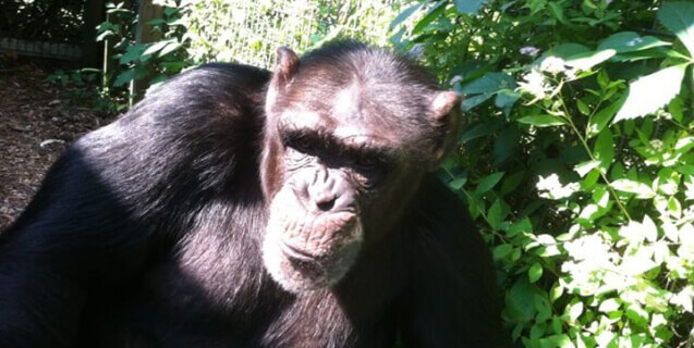 Tootie the Chimpanzee