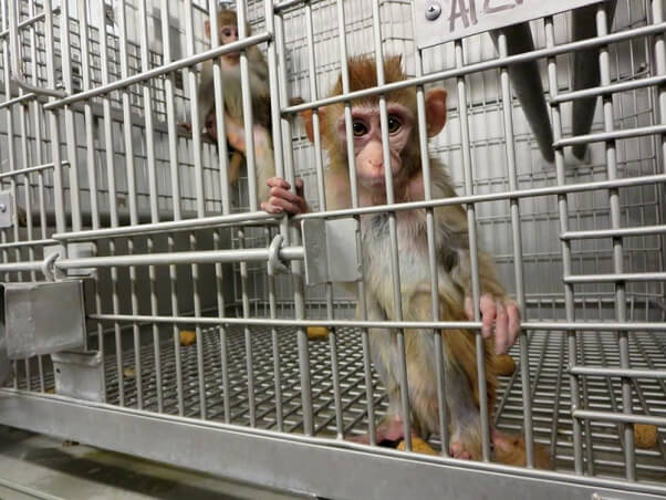 Young-Monkeys-in-a-Barren-Cage-primate-products