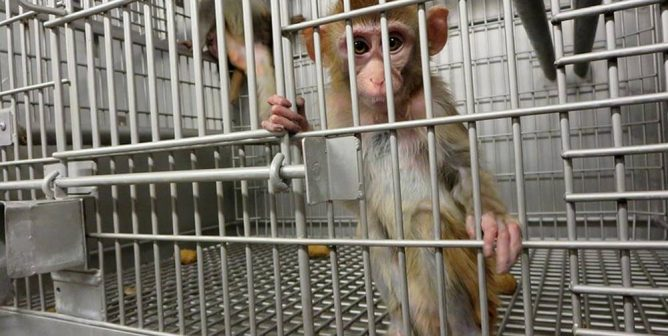 Animal Experimenters Try to Force Airlines to Transport Monkeys to Their Deaths