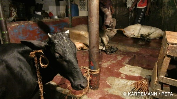 Cows and goats are fully conscious when their throats are cut on the streets of Dhaka. This cow had to watch another cow writhe in pain and bleed to death before meeting the same fate.