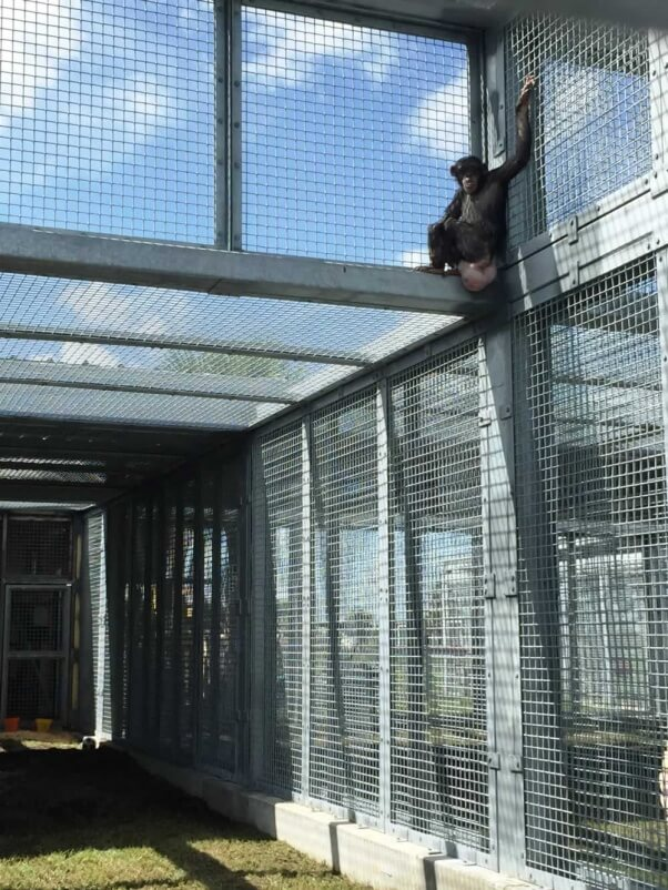 Rescued chimpanzee Lisa Marie in her new home
