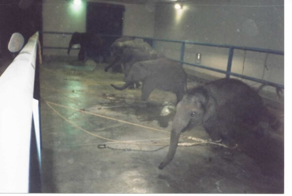 Calves separated from the mothers and chained to barren concrete in a barn at the Center for Elephant Conservation.