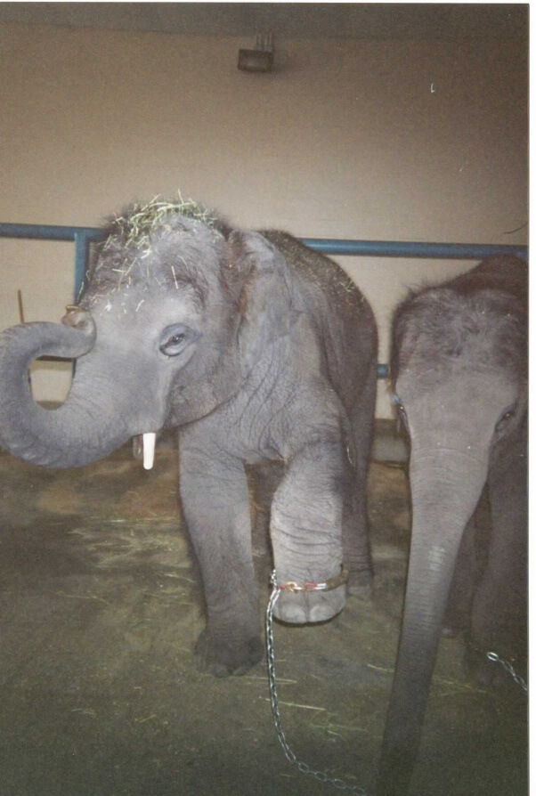 Populaire Another Baby Elephant Dies at Ringling's 'Retirement' Center | PETA XI86