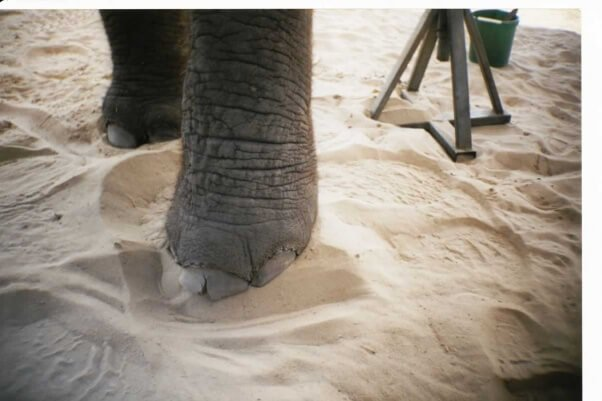 Elephant with cracked nail at Center for Elephant Conservation.