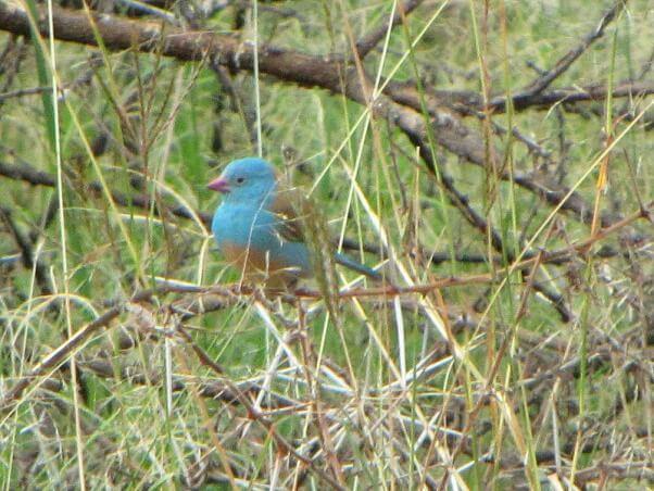 Blue-capped_Cordon-bleu,_Ngorongoro