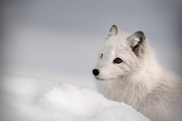 Arctic-Fox--Andy_Astbury