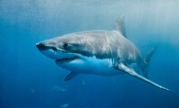Great White Shark Dies After Just Three Days in Aquarium