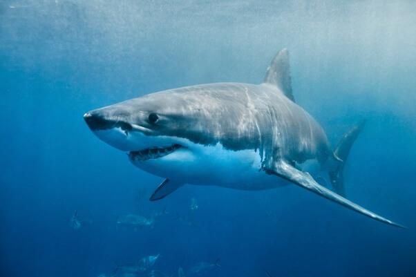 Shark-Thurston-Photo