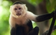 capuchin-stock-golfladi