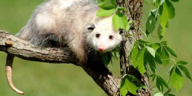 This Opossum Was Shot With Arrows but Never Gave Up the Will to Live