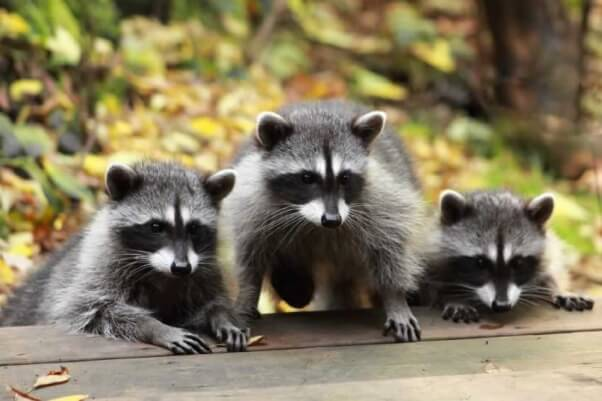 how to tell sex of baby raccoons