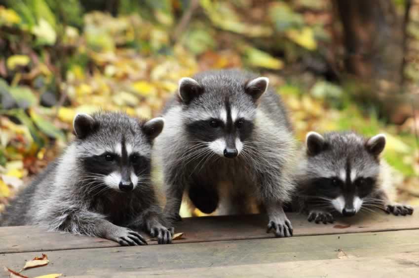Update: Miami Springs Halts Raccoon Massacre!