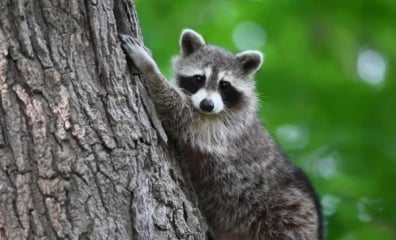 How You Discard Cans and Bottles Could Kill a Raccoon