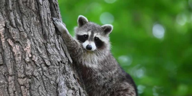 44a33eb7de How You Discard Cans and Bottles Could Kill a Raccoon | PETA