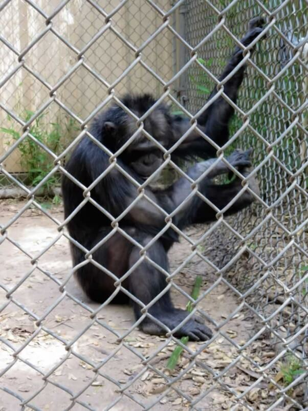 Joe the chimpanzee in solitary confinement at Mobile Zoo