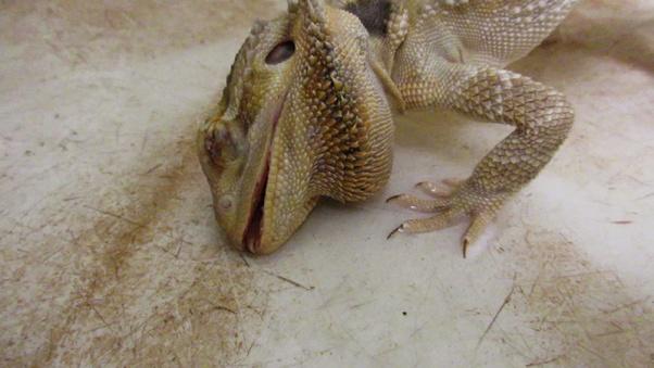 struggling lizard at petsmart supplier mill
