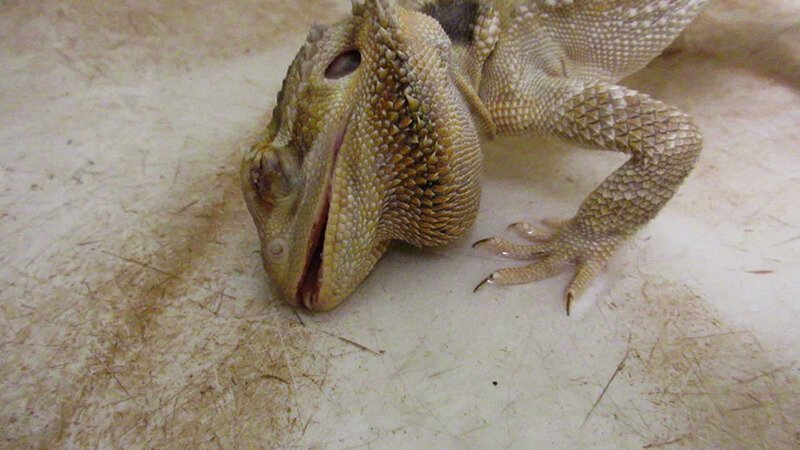Planning To Buy A Pet Reptile Don T Do It Peta