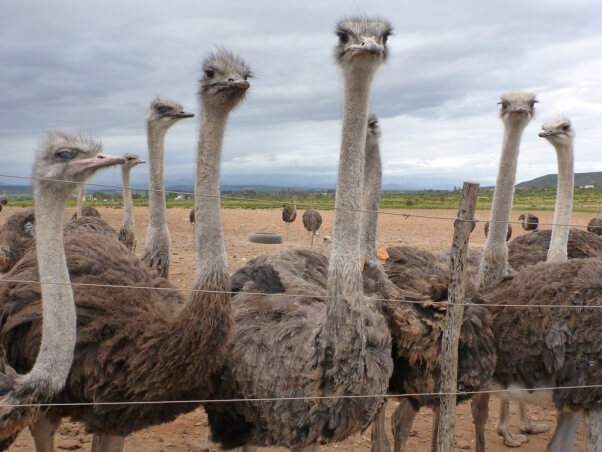 ED-5-2-Ostriches-in-Feedlot