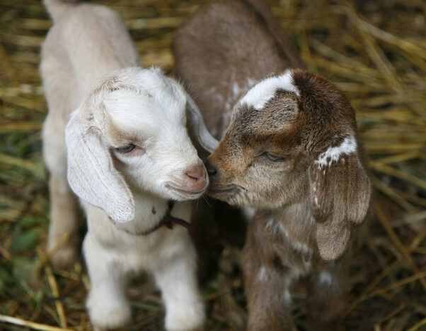 13 Reasons Never to Drink Goat's Milk | PETA