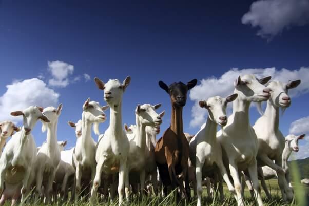 13 Reasons Never to Drink Goat's Milk   PETA