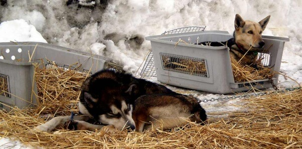 Iditarod-dogs-chained-in-straw