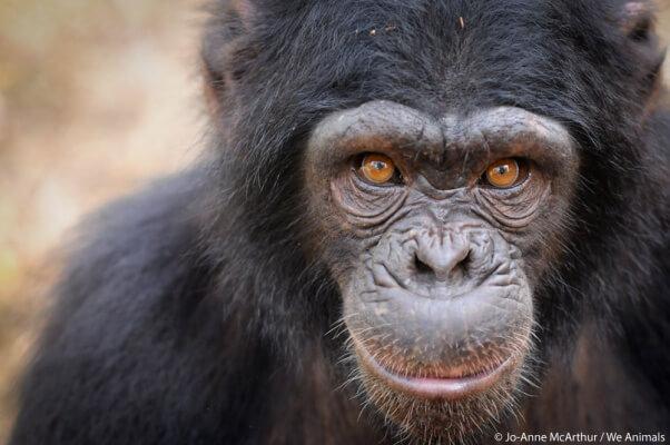chimpanzee-we-animals